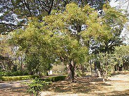 árbol de neem en la india